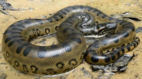 animal venezuela serpiente